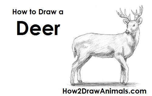 Draw White Tailed Deer