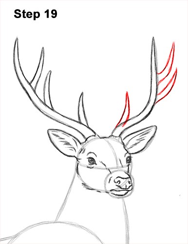 How to Draw Noble Deer Antlers Majestic Buck Stag 19