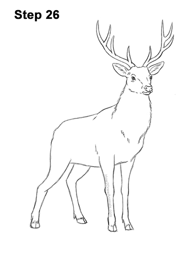 How to Draw Noble Deer Antlers Majestic Buck Stag 26