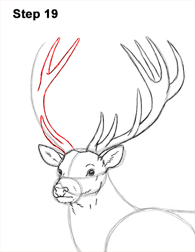 How to Draw a Red Deer Buck Stag Antlers 19