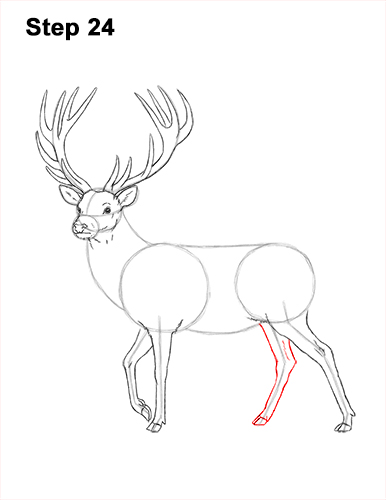 How to Draw a Red Deer Buck Stag Antlers 24