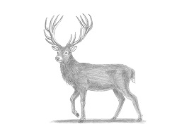 How to Draw a Red Deer Buck Stag Antlers