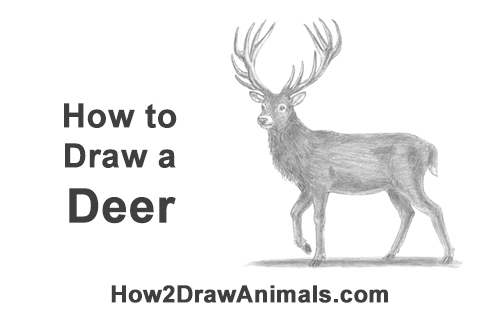 How to Draw a Red Deer Buck Stag Antlers Christmas
