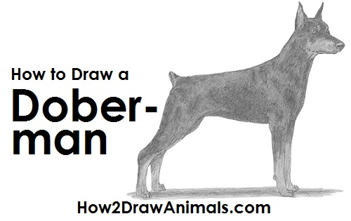 Draw Doberman Pinscher Dog