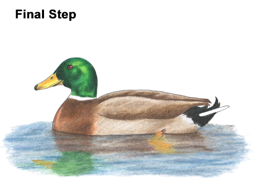How to Draw a Male Mallard Duck Color