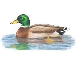 How to Draw a Mallard Duck Color
