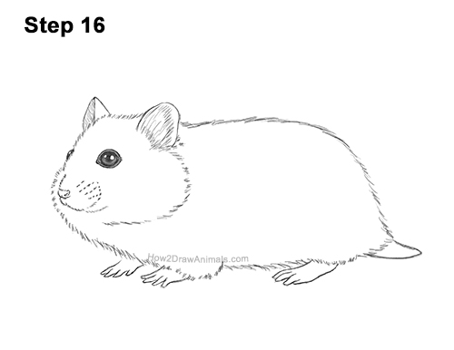 How to Draw a Russian Winter White Dwarf Hamster 16