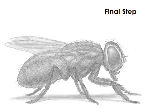 Draw Fly Insect