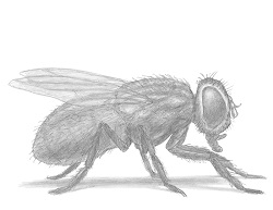 How to Draw a House Fly