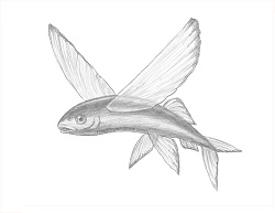 How to Draw a Flying Fish Cod Wings