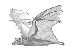 How to Draw a Flying Fox Fruit Bat Wings Side