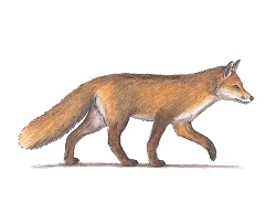 How to Draw a Red Fox Color Side View Walking