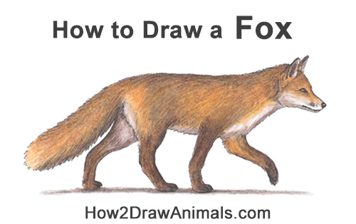 How to Draw a Red Fox Walking Side View Color