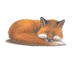 How to Draw a Sleeping Red Fox