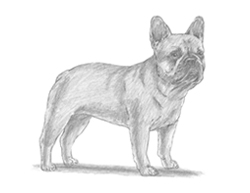 How to Draw a French Bulldog Puppy Dog