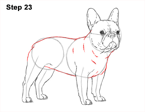 How to Draw French Bulldog Frenchie Puppy Dog 23