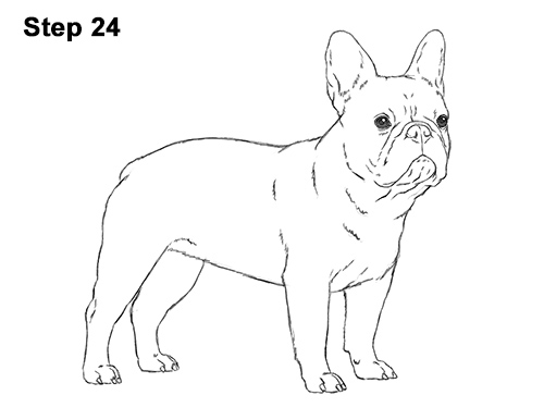 How to Draw French Bulldog Frenchie Puppy Dog 24