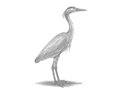 How to Draw a Great Blue Heron Bird