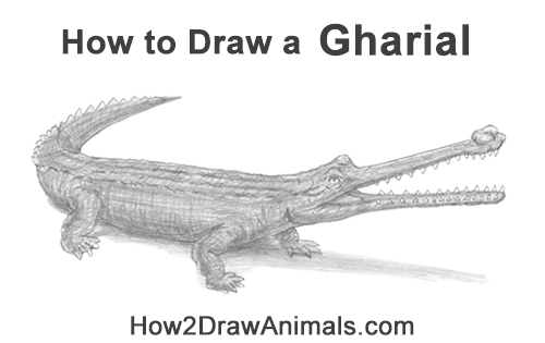 How to Draw a Gharial Gavial Crocodile