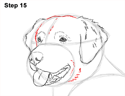 How to Draw a Golden Retriever Dog 15
