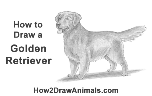 How to Draw a Golden Retriever Dog
