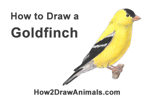 How to Draw an American Goldfinch Bird