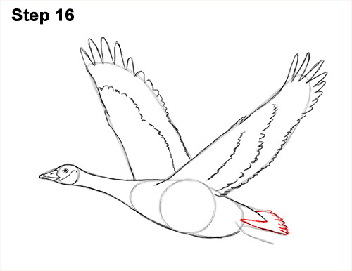 How to Draw Canadian Goose Flying Wings 16