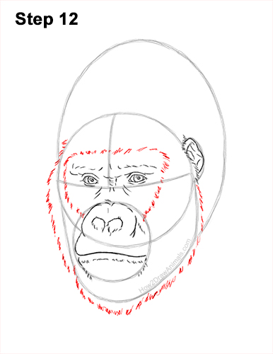 How to Draw a Gorilla Head Face Portrait 12