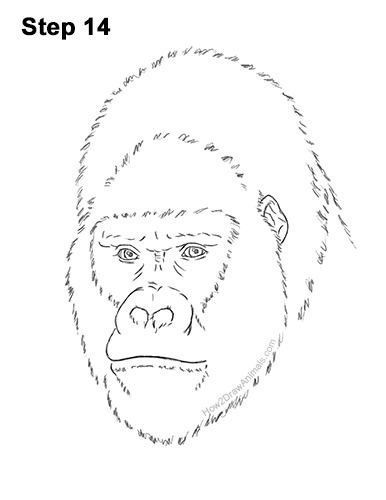 How to Draw a Gorilla Head Face Portrait 14