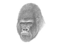 How to Draw a Gorilla Head Detail Portrait Face