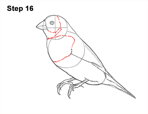 How to Draw a Lady Gouldian Rainbow Finch Bird 16