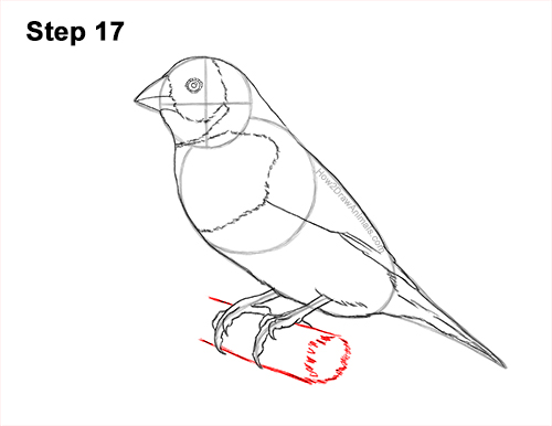 How to Draw a Lady Gouldian Rainbow Finch Bird 17