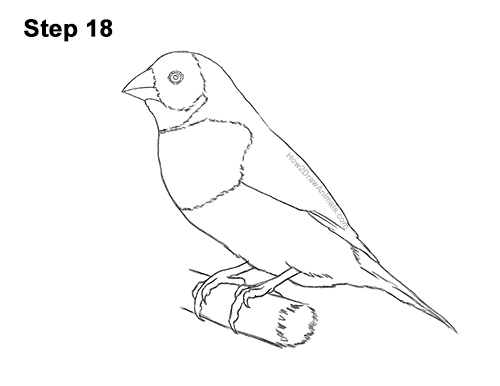 How to Draw a Lady Gouldian Rainbow Finch Bird 18