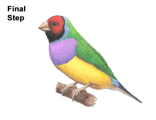 How to Draw a Lady Gouldian Rainbow Finch Bird