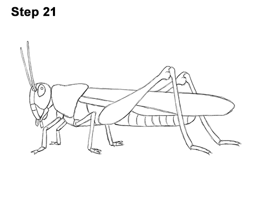 How to Draw Grasshopper Insect Bug 21