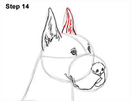 How to Draw a Tall Great Dane Dog 14