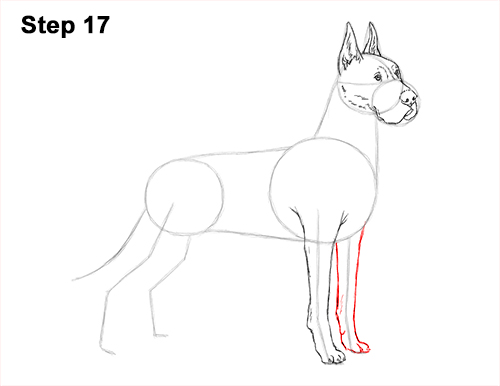 How to Draw a Tall Great Dane Dog 17