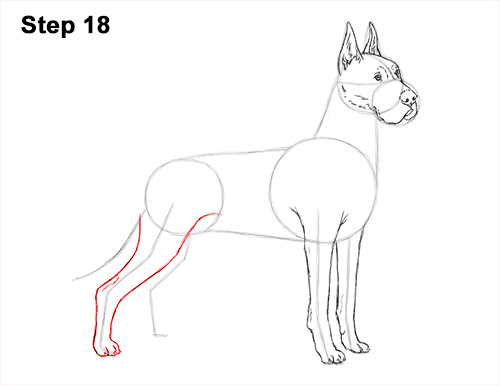 How to Draw a Tall Great Dane Dog 18