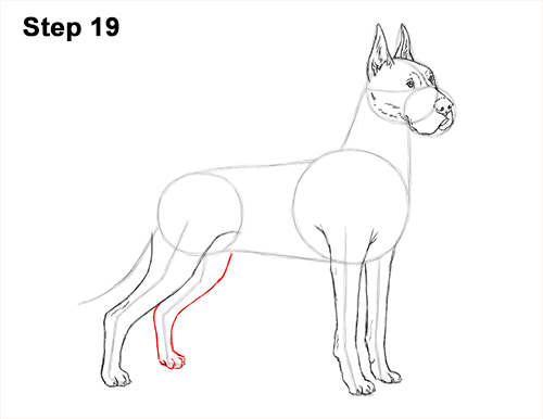 How to Draw a Tall Great Dane Dog 19