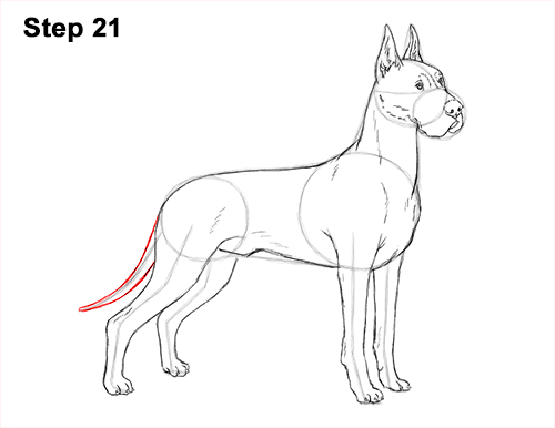 How to Draw a Tall Great Dane Dog 21