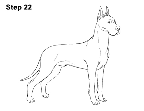 How to Draw a Tall Great Dane Dog 22