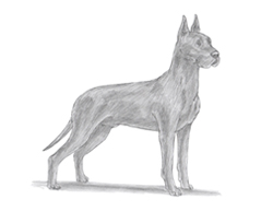How to Draw a Great Dane Dog