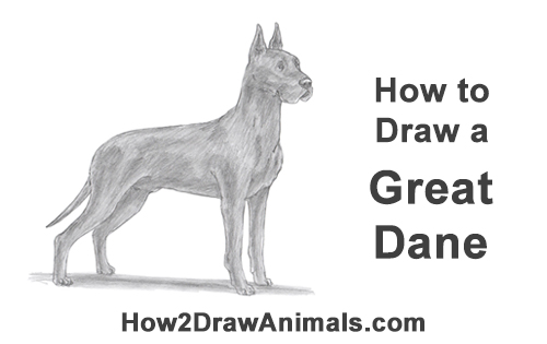 How to Draw a Tall Great Dane Dog