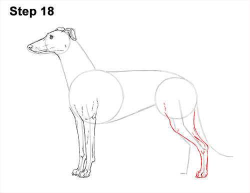 How to Draw Italian Greyhound Whippet Pupppy Dog 18