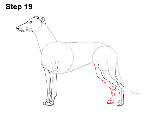 How to Draw Italian Greyhound Whippet Pupppy Dog 19