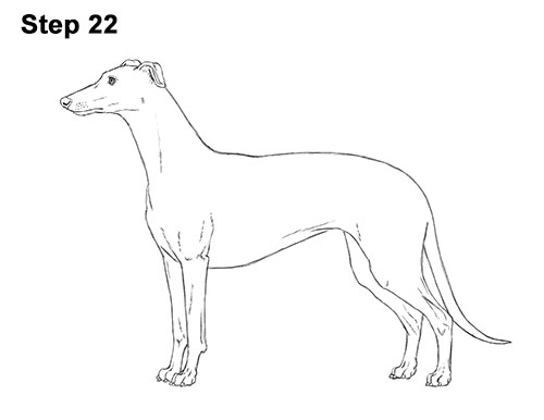How to Draw Italian Greyhound Whippet Pupppy Dog 22