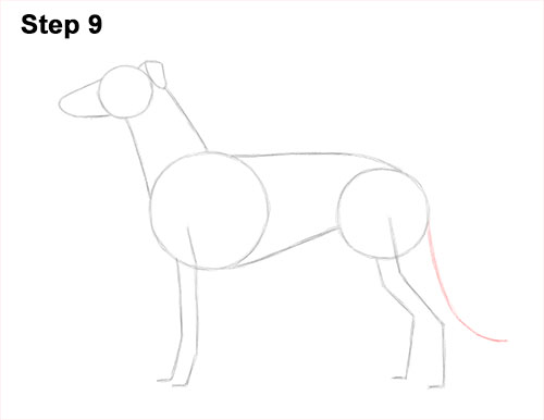How to Draw Italian Greyhound Whippet Pupppy Dog 9