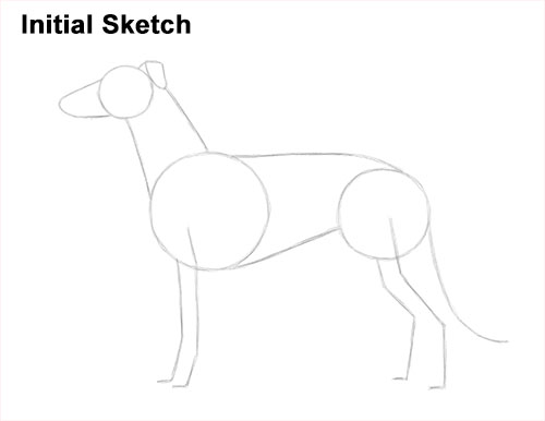 How to Draw Italian Greyhound Whippet Pupppy Dog Initial Sketch