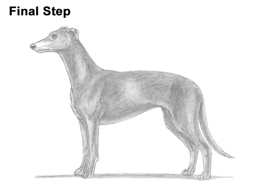 How to Draw Italian Greyhound Whippet Pupppy Dog