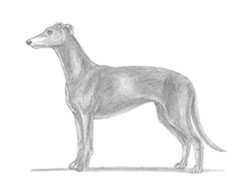 How to Draw Italian Greyhound Whippet Dog